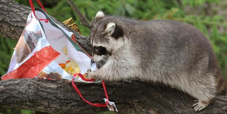 Jäger warnen vor Invasion von Waschbär und Marderhund (© 2014 AFP)