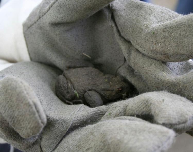 Die Erdkröten und  die Grasfrösche begeben sich in Krefeld auf  Wanderschaft (xity-Foto: M. Völker)