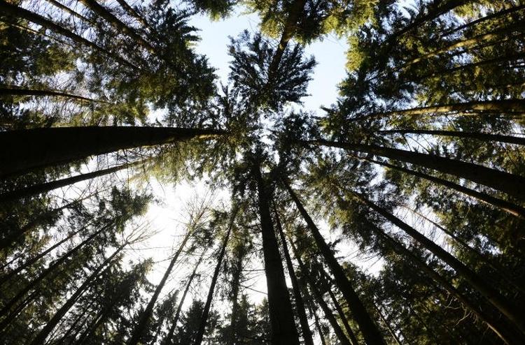 Zustand der Wälder in Deutschland 2013 verbessert (© 2014 AFP)