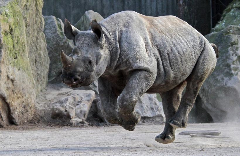Täglich fallen im südlichen Afrika zwei Nashörner der Wilderei zum Opfer (Foto: Zoo Krefeld)