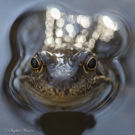 Lotterbett im Wasser: Der Fortpflanzungsakt verdichtet sich bei Familie Quak auf wenige, dafür aber höchst intensive Tage. Zwischendurch legen die beiden Partner immer mal ein Verschnaufpäuschen ein. Foto: Siegbert Werner