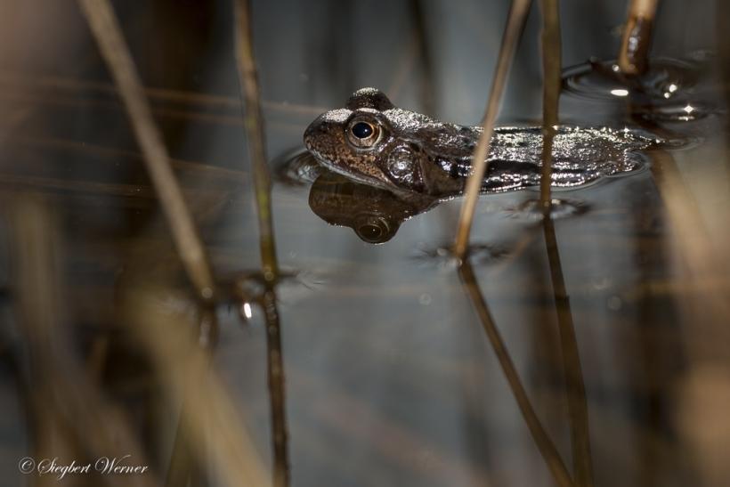 Das lässt tief blicken. Lady Frosch auf Männerfang. In ihrem Auge spiegelt sich das Hintergrund-Panorama, ein lichter Gehölz- und Gebüschbestand, dazwischen die Sonne, die langsam an Kraft gewinnt und sich allmählich gegen den mor