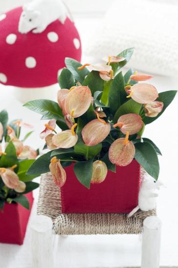 Anthurium ist Zimmerpflanze des Monats Juni (Foto: Blumenbüro)