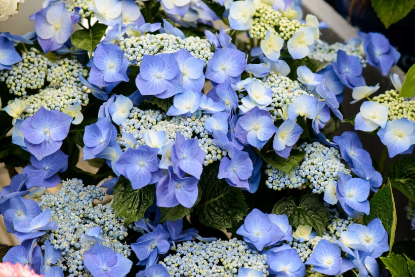 In der Natur besitzen blaue Blüten echten Seltenheitswert (Foto: Blumenbüro)