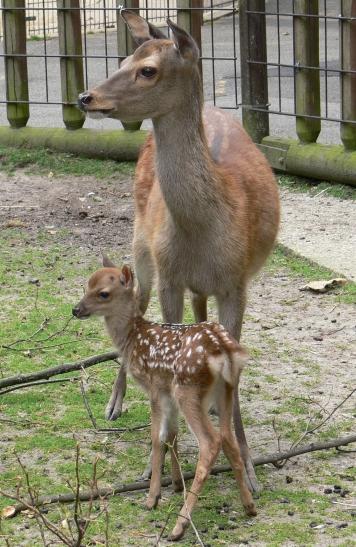 Bambi mit seiner Mutter (Foto: Tiergarten Mönchengladbach)
