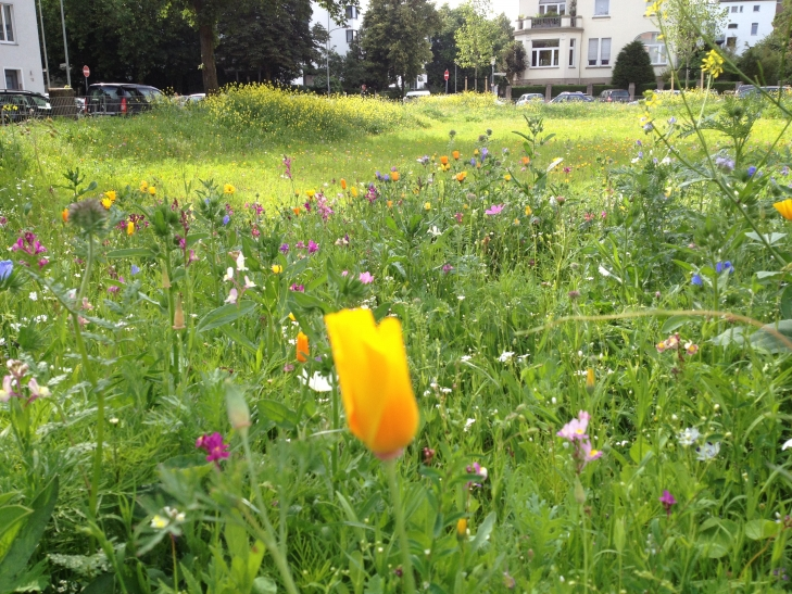 Die Wildblumenwiese auf dem Von-Beckerath-Platz erblüht in ihrer ganzen Pracht. (Foto: Lothar Strücken)