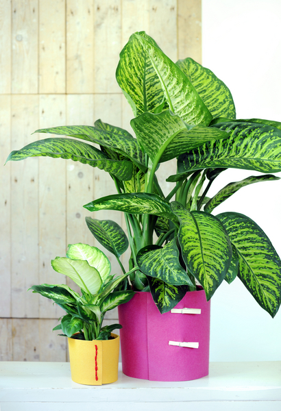 Dieffenbachia ist Zimmerpflanze des Monats Juli (Foto: Blumenbüro)