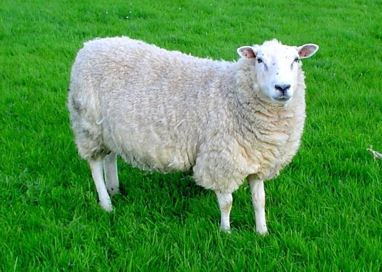 Freilaufender Hund tötet am Egelsberg ein Schaf (Foto: Jack Hynes)