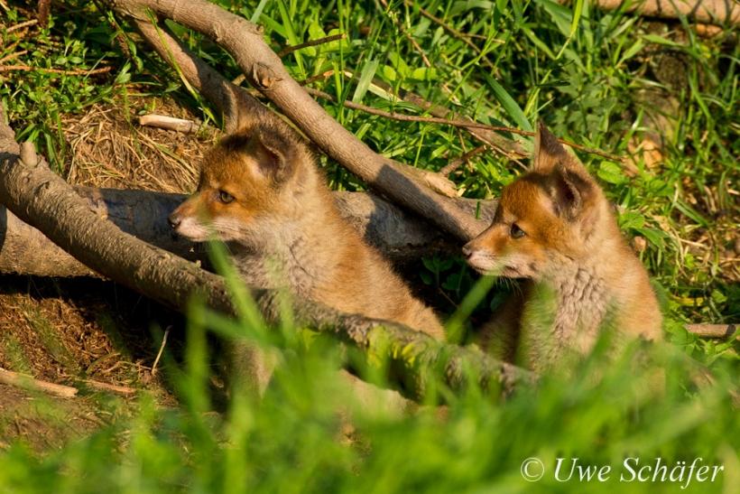 Hallo, ist da wer? Die beiden Fuchs-Welpen haben längst gewittert, dass Mama im Anmarsch ist. Foto: Uwe Schäfer