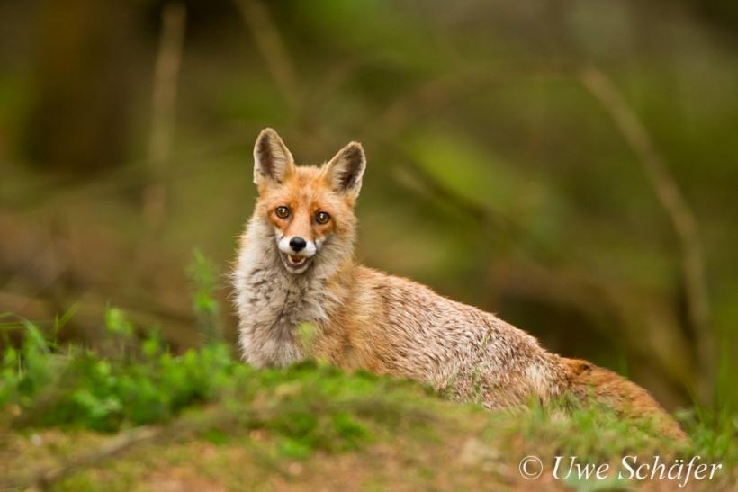 Mama-Fuchs ist ganz Ohr und peilt die Lage. Foto: Uwe Schäfer