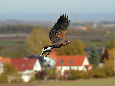 Greifvogelattacken im Hülser Bruch. (Foto: dapd)