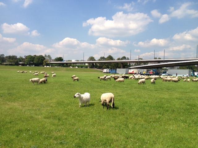 Schafe zur Kirmeswiese ausgebüxt (Foto: Feuerwehr Düsseldorf)