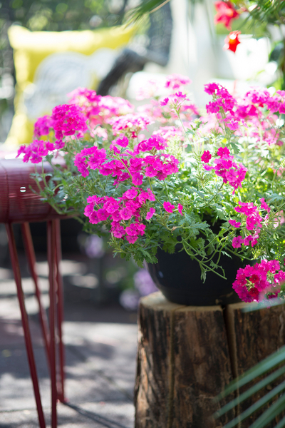 Verbena und Mandevilla verschönern den Sommerbalkon (Foto: Blumenbüro)