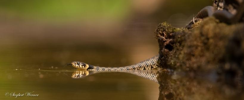 Wasser marsch! Die scheuen Reptilien sind exzellente Schwimmer. Foto: Siegbert Werner