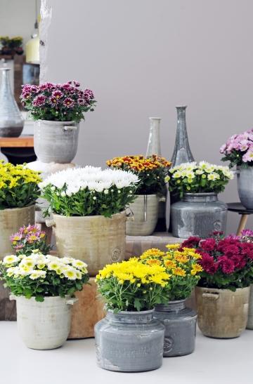 Chrysantheme ist Zimmerpflanze des Monats Oktober (Foto: Blumenbüro)