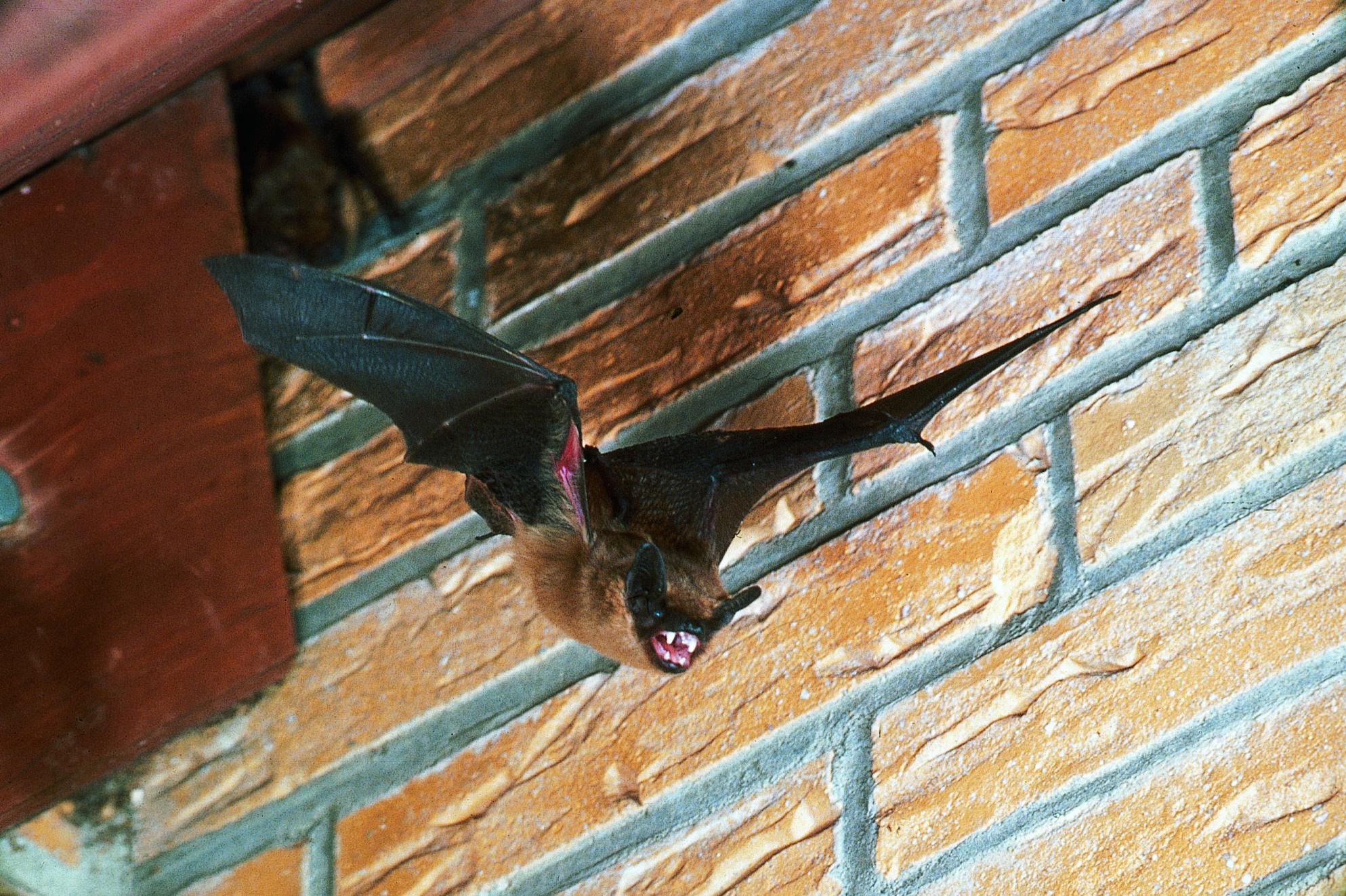 NABU fordert mehr Engagement beim Fledermausschutz (Foto: Eberhard Menz)