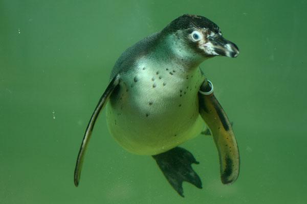 Konkurrenzlos führen die Humboldtpinguine die Hitliste der Besucherlieblinge im Zoo Krefeld an (Foto: Zoo Krefeld)
