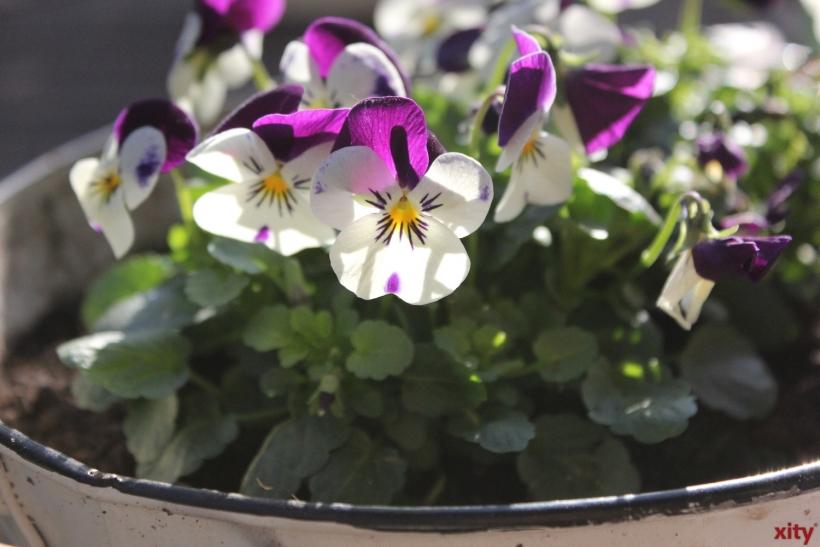 Den Pflanzen ist am besten gedient, wenn sie alle paar Tage kräftig gewässert werden (Foto: xity)