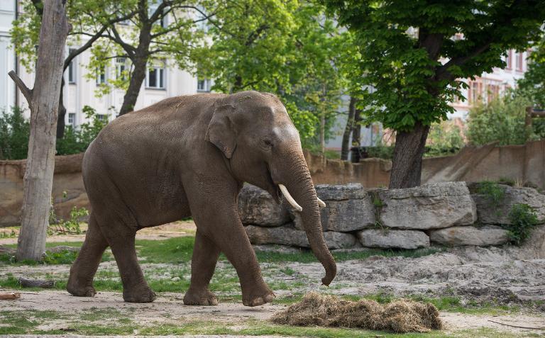 Zirkuselefant kommt nach tödlichem Angriff in Tierpark (© 2015 AFP)