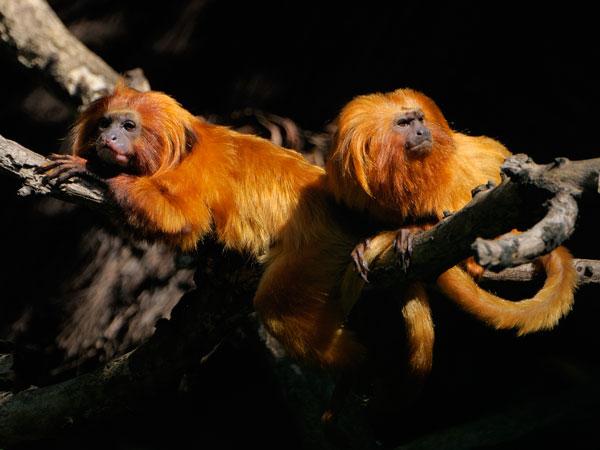 Drei Goldene Löwenäffchen aus dem Zoo Krefeld gestohlen (Foto: Zoo Krefeld)