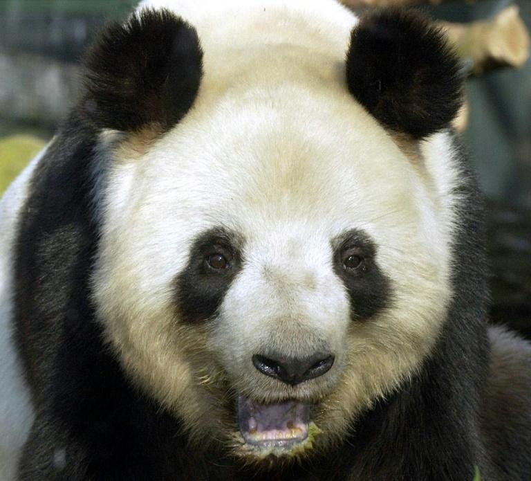 Berliner Zoo bekommt wieder mindestens einen Pandabären (© 2015 AFP)