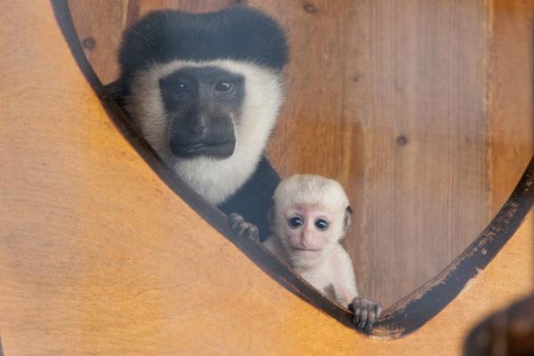 Das Guerezaaffen-Jungtier im Krefelder Zoo mit seiner Mutter (Foto: Zoo Krefeld)