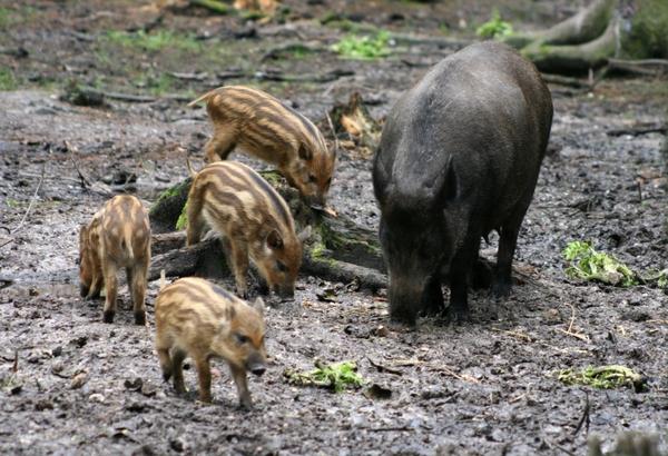 Pünktlich vor den Osterferien sind nun die ersten Frischlinge des Jahres im Wildpark geboren worden (Foto: xity)