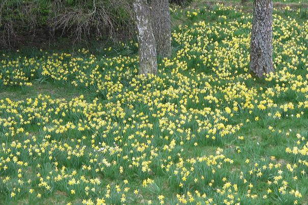 Strahlend gelb schmücken sie im Frühjahr viele Wohnungen und Gärten: die Osterglocken (Foto: xity)
