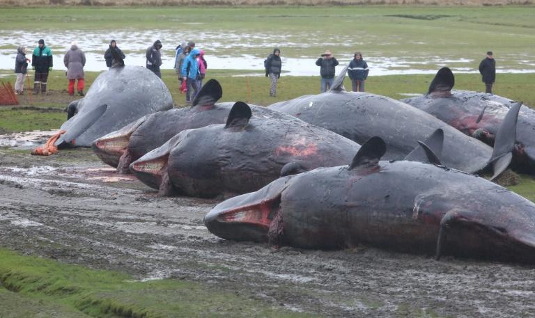 Gestrandete Pottwale in der Nordsee folgten womöglich einfach nur Tintenfischen (© 2016 AFP)