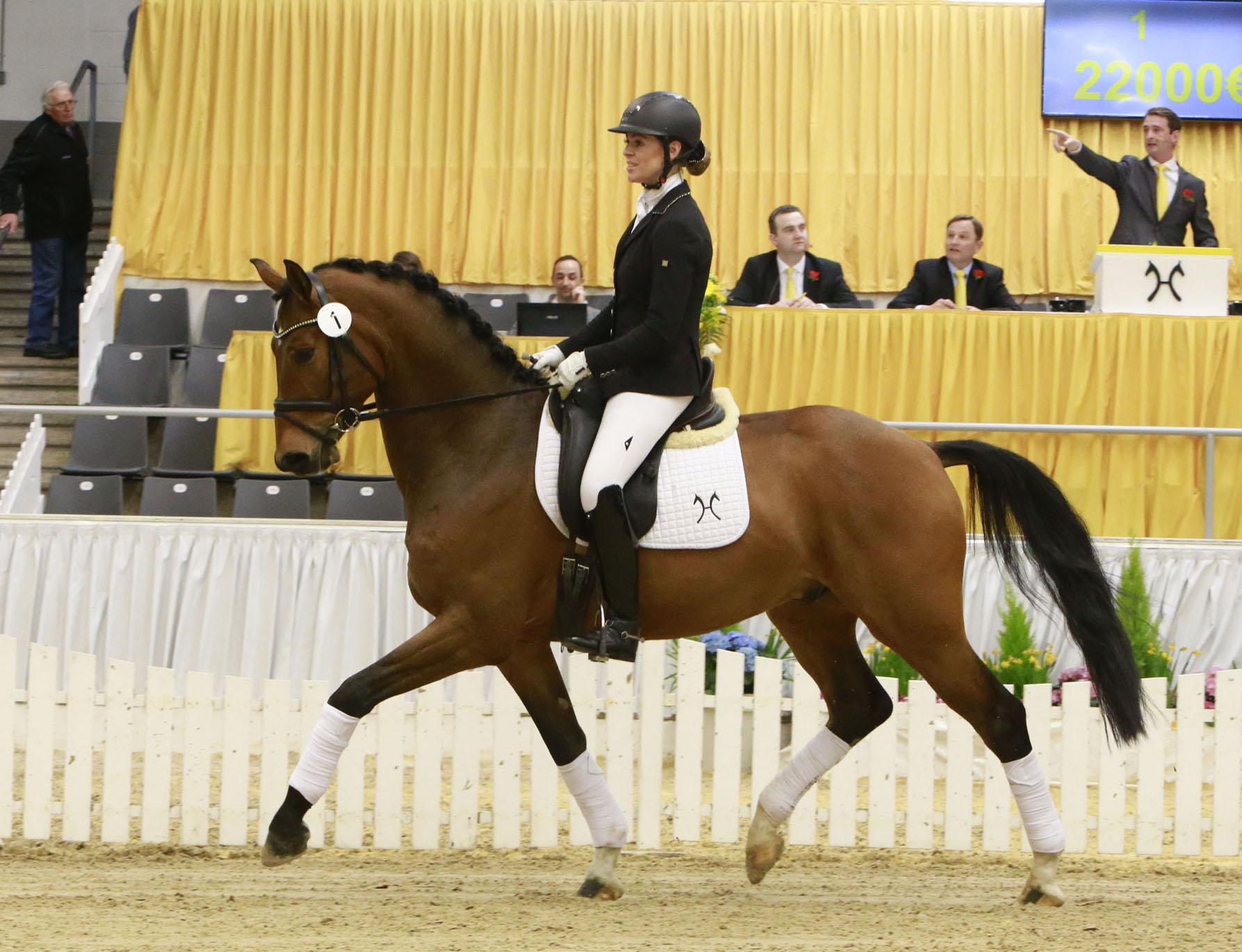 Der braune Wallach Belaggio fand für 62.000 Euro einen neuen Besitzer (Foto: Tammo Ernst)