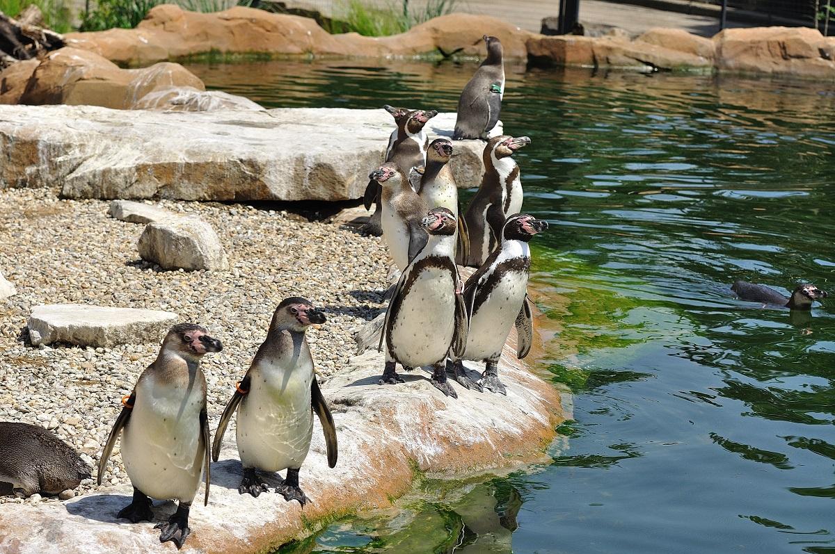 Die Humboldt-Pinguine im Zoo Krefeld in ihrem schönen Gehege (Foto: Zoo Krefeld, Vera Gorissen)