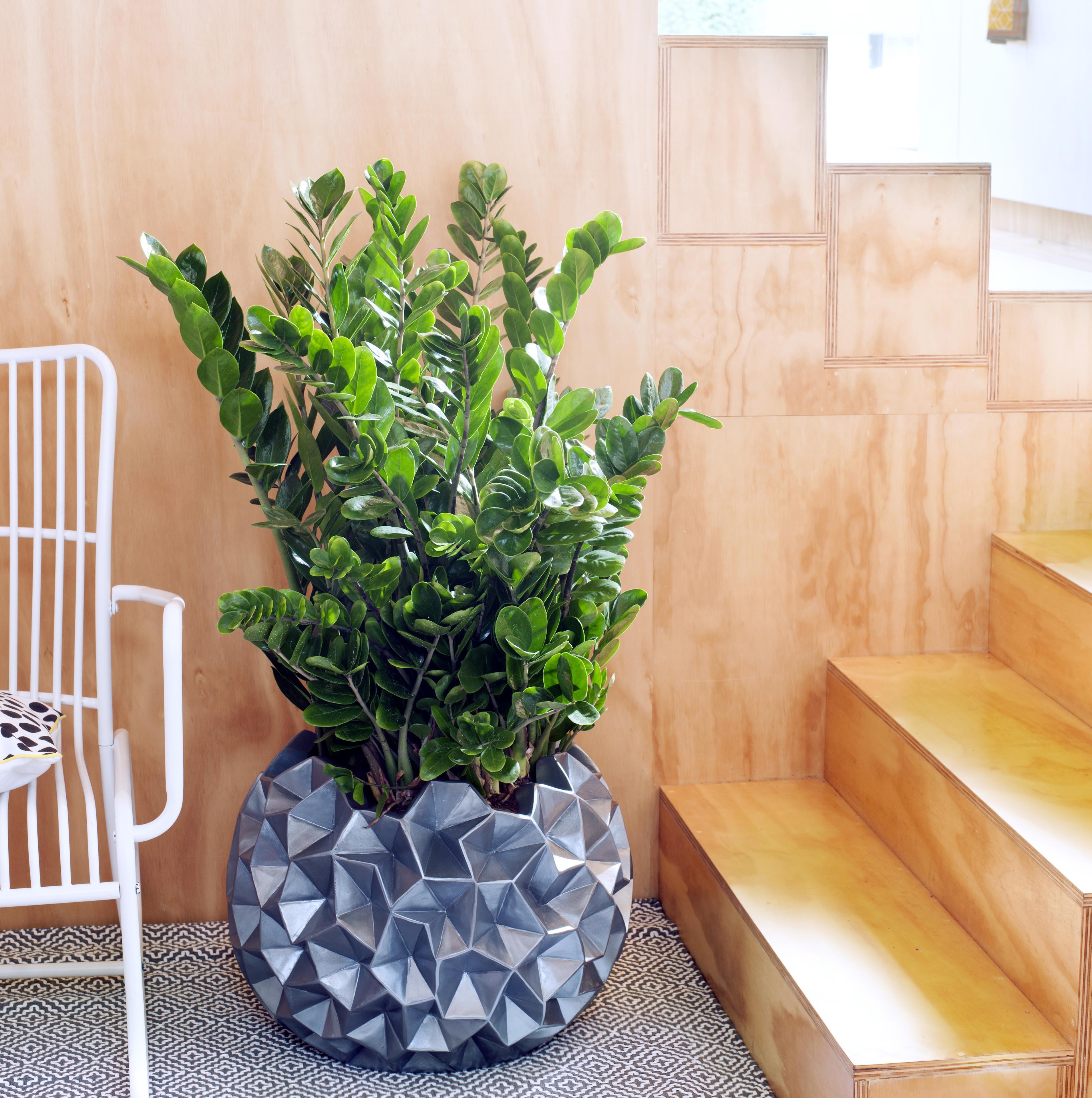 Die Zamioculcas ist Zimmerpflanze des Monats Juni (Foto: Blumenbüro/Pflanzenfreude.de)