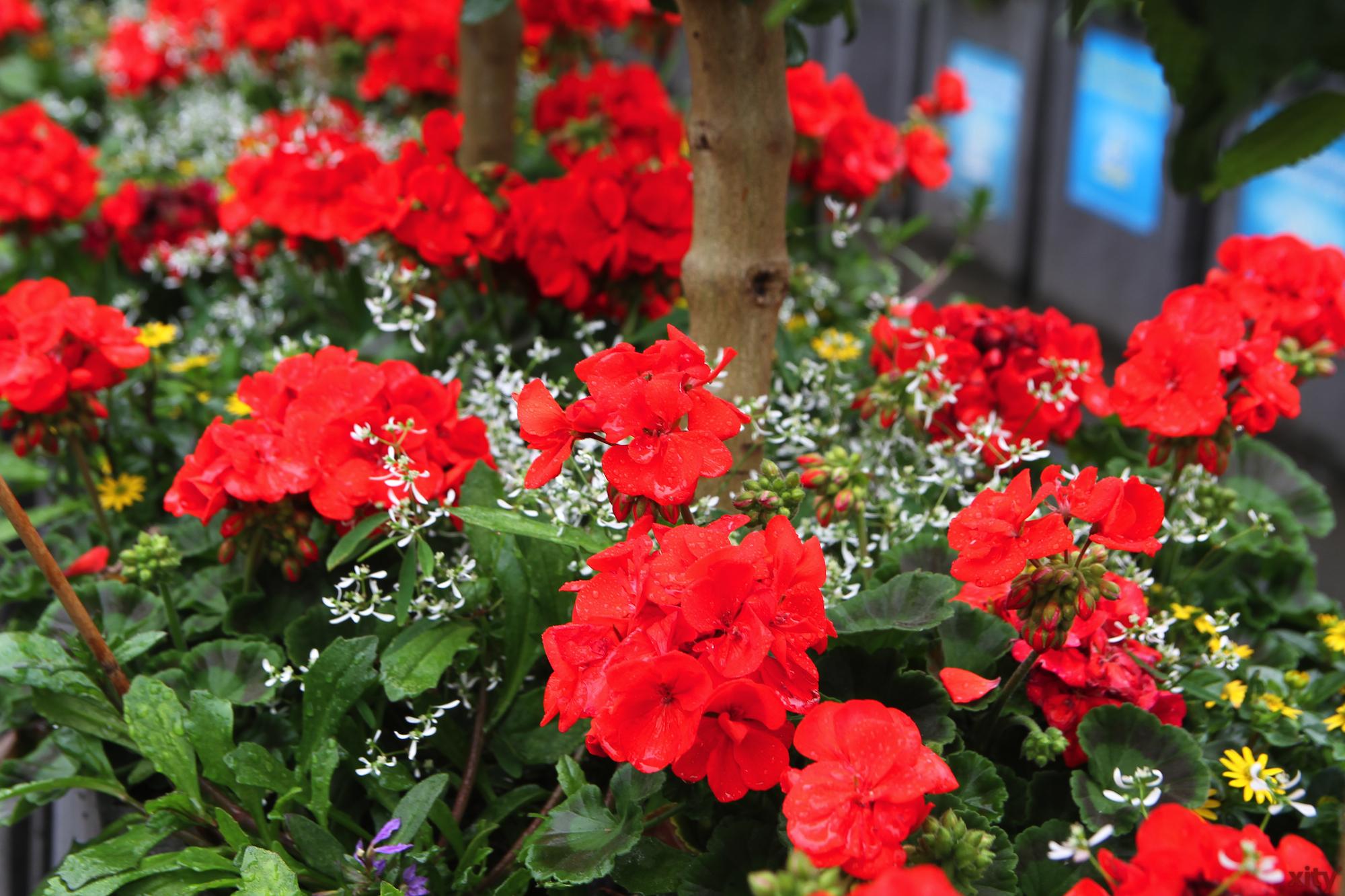 Die Blumenkübel beinhalten Wandelröschen, Geranien, Fächerblumen, Husarenknöpfchen und Zauberschnee (Foto: xity)