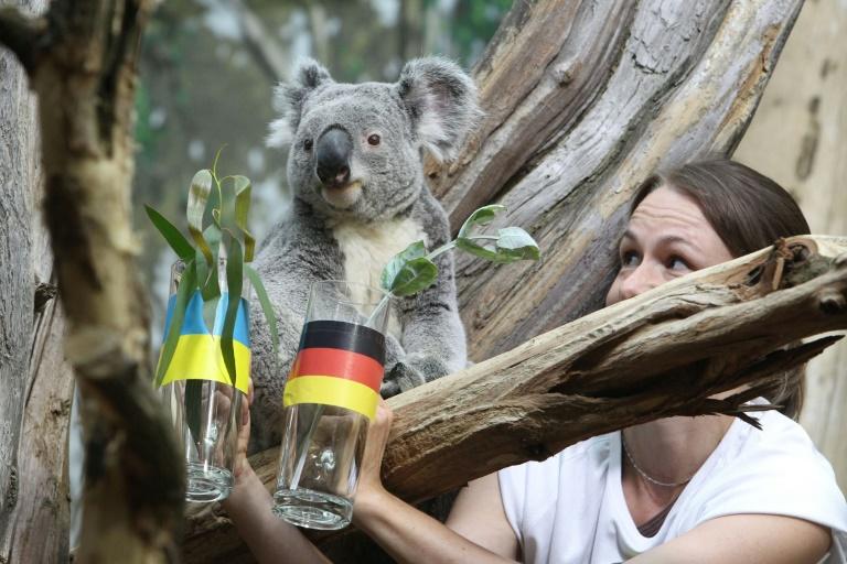 Orakel-Koala Oobi-Ooobi prophezeit deutschem Team Unentschieden zum EM-Auftakt (© 2016 AFP)