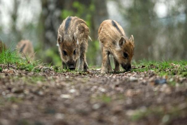 Junges Wildschwein bei Pool-Bad ertrunken (© 2016 AFP)